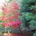 Jesienne barwy drzew. #drzewa #jesień #przyroda #OgródDendrologiczny