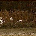 Białe udało mi się bliżej ale do ideału trzeba poczekać co najmniej do wiosny #jesień #ptaki #czapla #woda