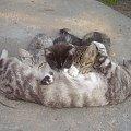 Kociątka wraz z mamusią: Tigerek, Urwisek i Muszelka; mamusia to Perszi. #kot #mama #małe