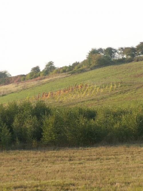 Witam w Winnicy Jakubów położonej na stromym, południowym stoku.