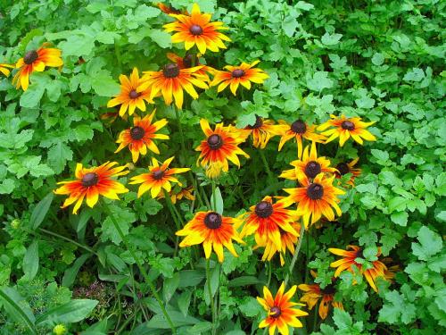 #kwiaty #rudbekie #ogród