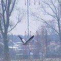 żurawie #żuraw #ptak #lot