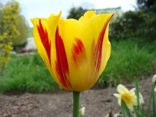 Roślinki prosto z ogródka #KwiatyRoślinyTulipanyOgród