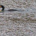 węgorz i kormoran