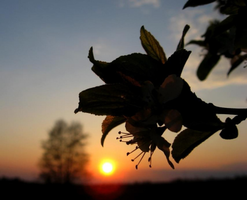 kwat i zachód #kwiat #zachód #wiosna