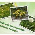 #mlecze #MniszekLekarski #kwiaty #dmuchawiec #collage