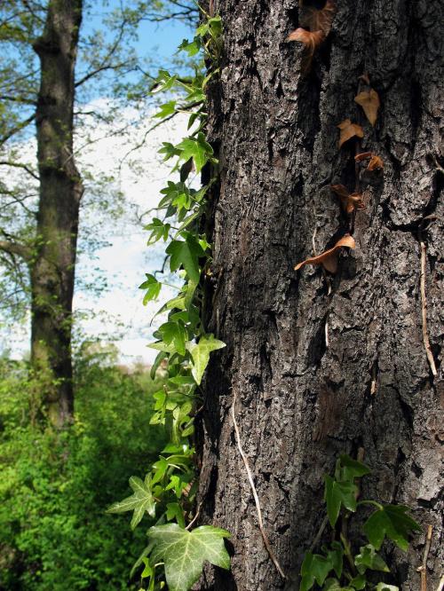 #wiosna #bluszcz #kora #drzewo #pień