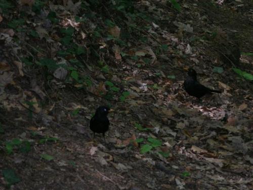 Kosy - bardzo irytujące ptaszki, w Parku Sobieskim jest ich pełno. Co krok można zobaczyć je buszujące w suchych liściach :-)