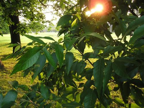 Zachod slonca w lisciach #liście #drzewa #drzewo #słońce #promienie #PromienieSłoneczne #ZachódSłońca #przyroda