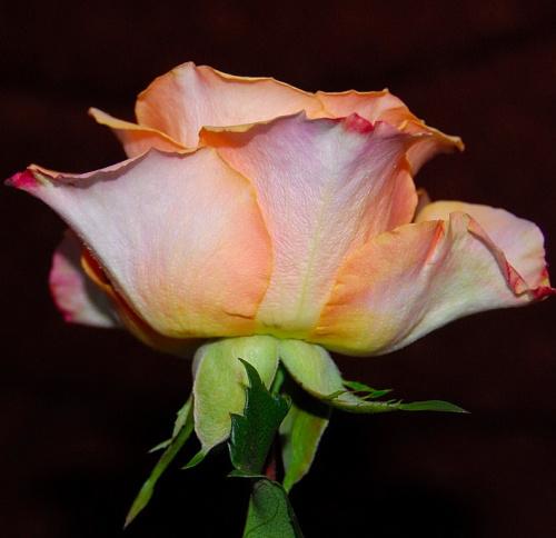 Roze #kwiaty #ogrody #alicjaszrednicka