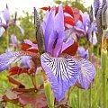 #kwiatek #irys