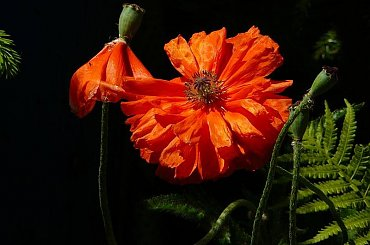 W moim ogrodzie tancerka flamenco! #maki #WOgrodzie #czerwiec #kwiaty
