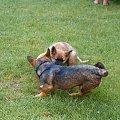 zabawa psów(prawie jak walka)2 #dog #mlody #OwczarekNiemiecki #pies #piesek #rasa #rasowy #rodowod #suczka #szczeniak #kundel #zabawa #walka #zlosc #rodzina #glupota #miki #szczur