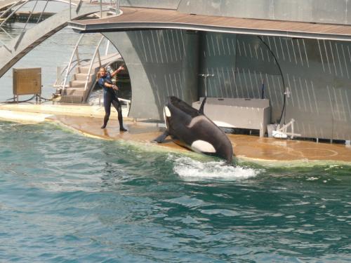 Orka wyróżnia się bardzo kontrastowymi barwami #Marineland