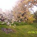 drzewa #drzewa #czereśnia #kwiaty #wiosna
