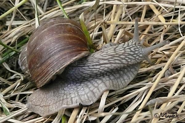 Ślimak wędrowniczek