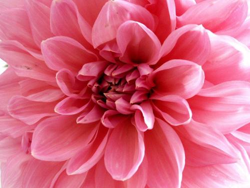 różowy zawrót głowy