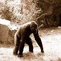 goryl #zwierzęta #goryl #małpa