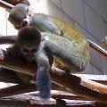 małpki #zwierzeta #małpa #małpka