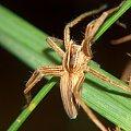 pająk #makro #pająk #pająki #owady #przyroda #natura #zwierzęta #drapieżnik #myśliwy #makrofotografia