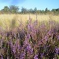 #wrzos #łąka #kwiaty