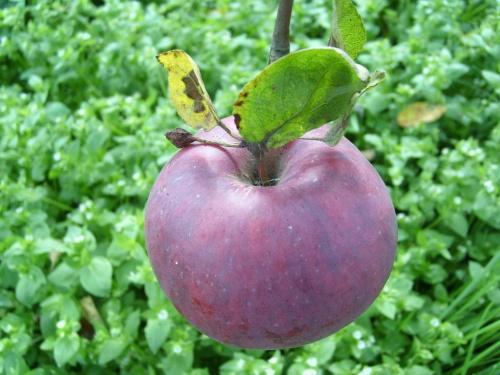 Jabłko #jabłko #roślina #owoc